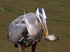 Great Blue Heron (fishing)