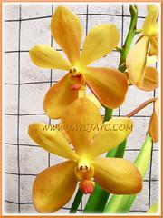 Mokara 'Gold Nugget' orchid in our garden