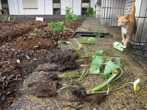 與園丁咪咪在園區種芋頭