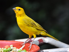 atlantic canary, animal, yellow, fauna, beak, bird,