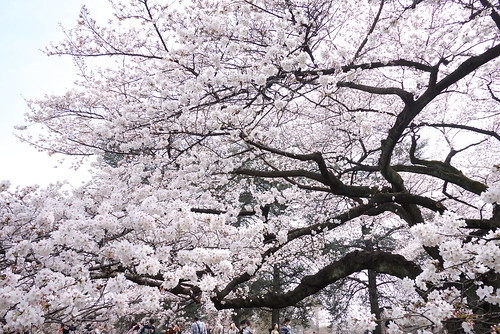 Cherry Blossoms - White