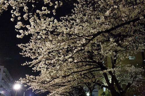 yozakura_04