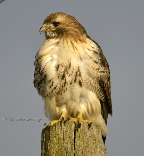 Red-tailed Hawk, Easthampton, MA by Janaswamy
