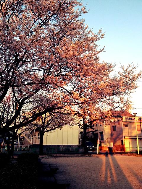 CherryBlossom_1