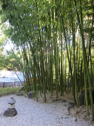 Hakone Japanese Gardens, Saratoga, CA, bamboo IMG_2477
