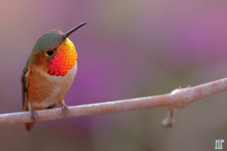 Allen's Hummingbird 010813-5