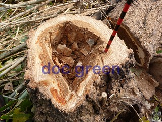 carie legnosa