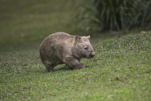 Wombat by Official San Diego Zoo