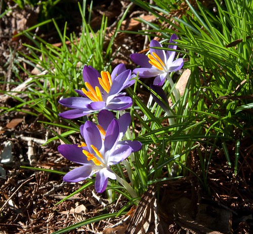 Crocus LP 1-19-13 5187 lo-res