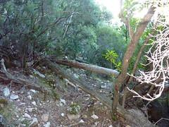 Chemin de la Montagne : après le Valdu Grande, les troncs en travers nécessitant la tronçonneuse