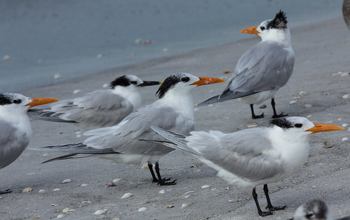 Royal Terns with one Sandwich Tern