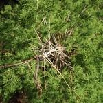 Garden Inventory: Ming Fern Asaparagus (Asparagaus retrofractus) - 3