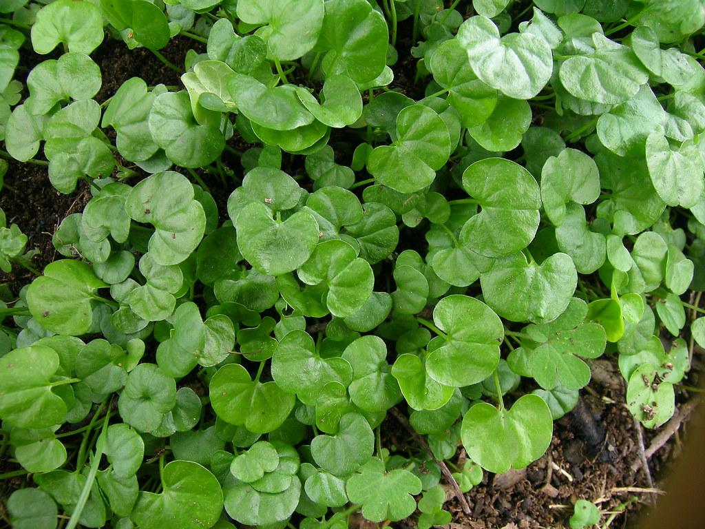 Dichondra repens leaf2
