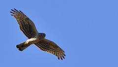 harrier, animal, hawk, bird of prey, falcon, eagle, wing, fauna, buzzard, beak, bird, flight,