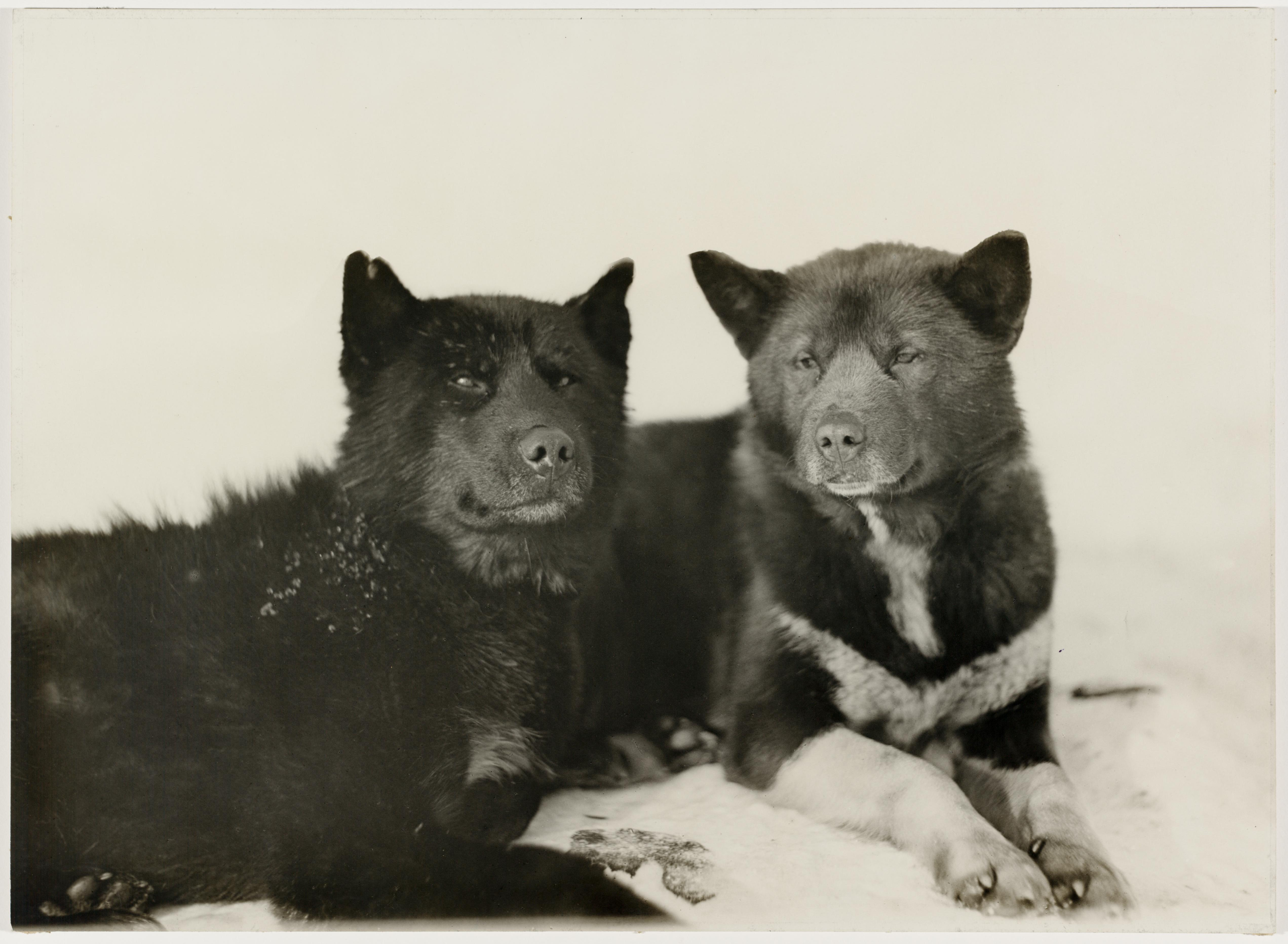 Greenland esquimaux dogs (Basilisk and Ginger-bitch), Antarctica, 1911-1914 / Frank Hurley