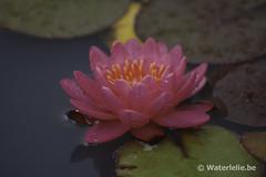 DSC_5541 Waterlelie Wow