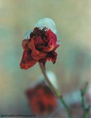 Snow & Roses