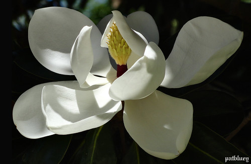 White Magnolia in Hunter Valley Gardens