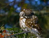 Boreal Owl by chris.w.birder