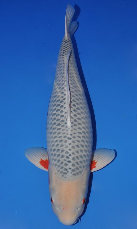The best in varieties of the 2013 all japan show for Carpe koi shusui