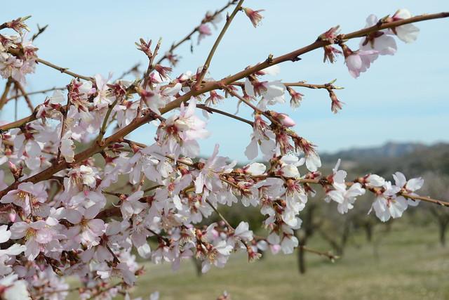 007 - Almendros en flor Castell de Castells