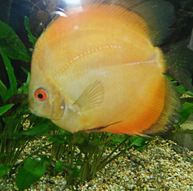 A Discus Fish In The Princess Of Wales Conservatory - Kew Gardens.