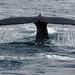 Humpback Whale (Malcolm Stott)