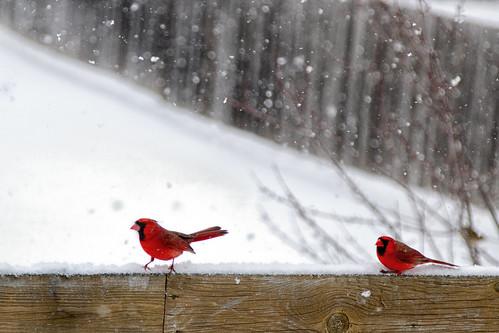 wintercardinals -