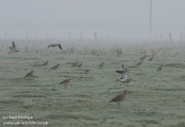 misty curlews