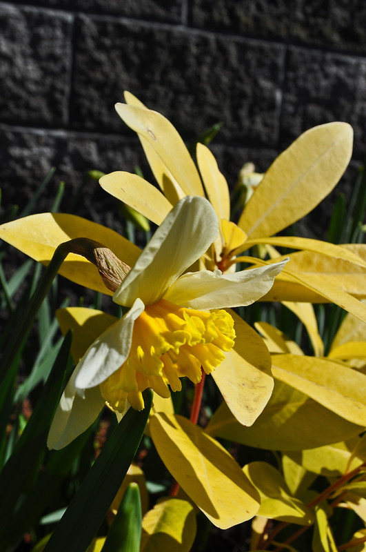 Narcissus and Illicum 'Florida Sunshine'
