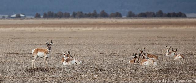 Pronghorn near Klamath Basin National Wildlife Refuge
