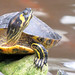 Yellow-bellied Slider - Photo (c) M.M. R, some rights reserved (CC BY-NC)