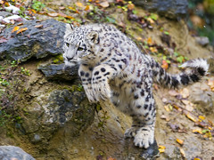 [Free Images] Animals (Mammals), Leopards, Snow Leopard, Jump ID:201303081600