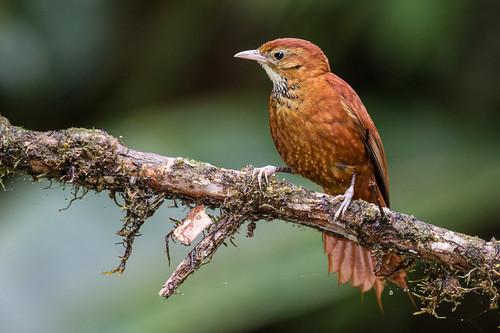birds colombia risaralda furnariidae pueblorico fulvousdottedtreerunner cerromontezuma 112ovenbirds margarornisstellatus