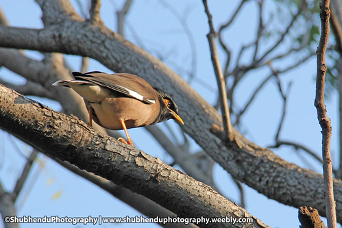 indian mynah... by ShubhenduPhotography