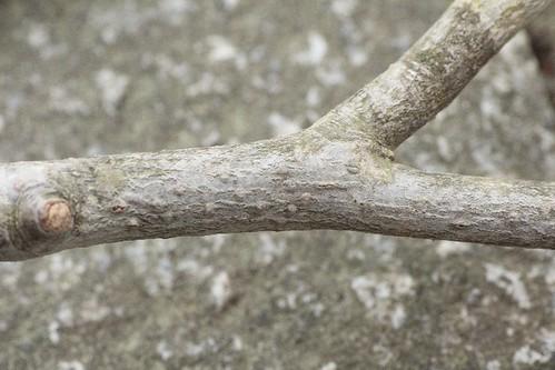 ブナ落ち枝