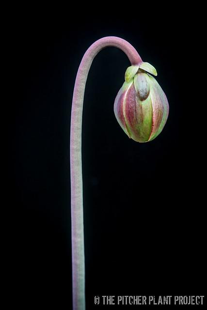 Sarracenia leucophylla 'Tarnok'