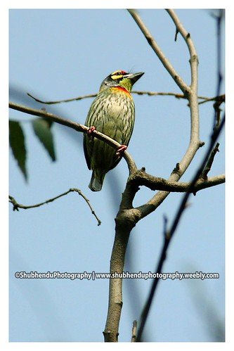 Coppersmith Barbet by ShubhenduPhotography