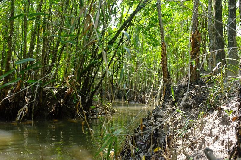 Mangrove 13