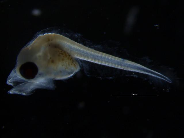 Triglidae sp.