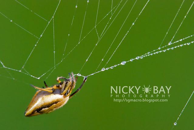 Orb Weaver Spider (Araneus metalis) - DSC_8474