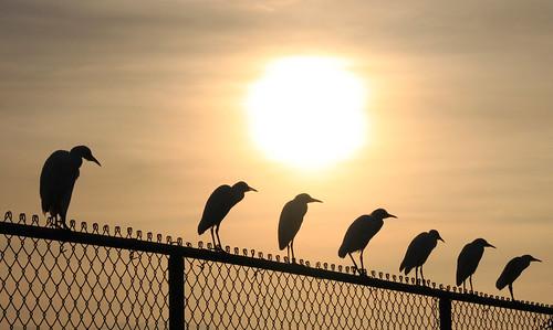 birds silhouette evening barbados oistins