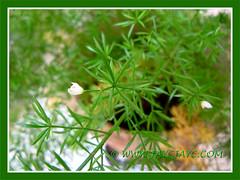 Asparagus densiflorus 'Sprengeri' (Sprengeri Asparagus Fern, Asparagus/Foxtail Fern, Plume Asparagus) with fern-like foliage and flowers