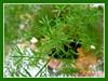 Asparagus densiflorus 'Sprengeri' (Sprengeri/Sprenger's Asparagus Fern, Asparagus/Emerald Fern, Basket Asparagus)