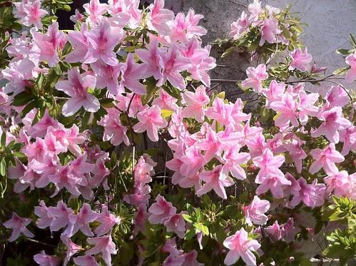 Azalea Bloom From A Gardener's Notebook