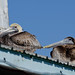 2-17-13 Pelican Pair by janeswalden