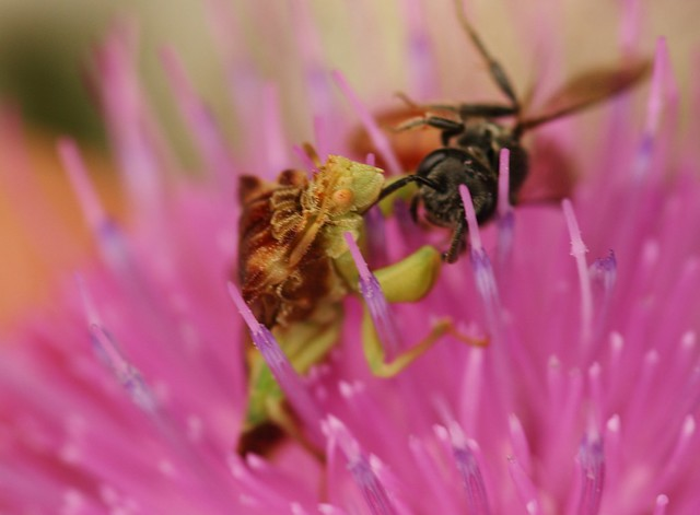 Ambush bug with Sphecodes prey