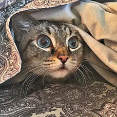 Scardy cat Aymara.  #scared #scaredycat #aymara #catsofig #catsofinstagram #siamese #siamesecat #lynxpointsofinstagram #lynxpoint #lynxpointsiamese
