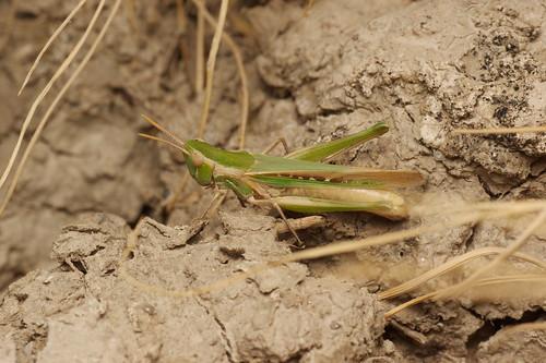 Calephorus compressicornis (Acrididae: Oedipodinae) hembra