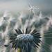 The dandelion by Pog's pix